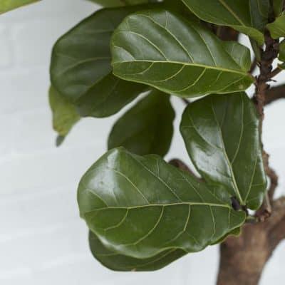 Cách chăm sóc cây bàng Singapore