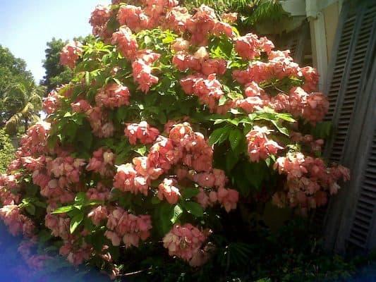 cách trồng cây bướm hồng