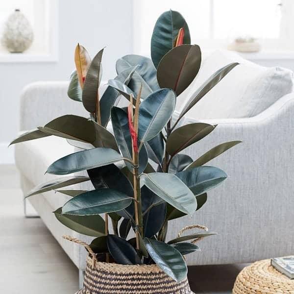 10 loại cây cảnh nên trồng trong nhà vì vừa thanh lọc không khí lại giúp gia chủ tấn tài tấn lộc - Ảnh 5.