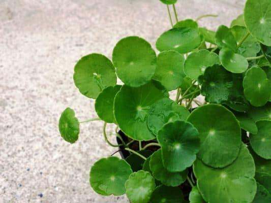 Ý nghĩa của cây cỏ đồng tiền