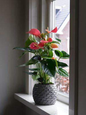 Cách chăm sóc cây hồng môn