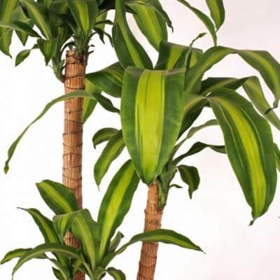 Đặc điểm nổi bật của cây thiết mộc lan
