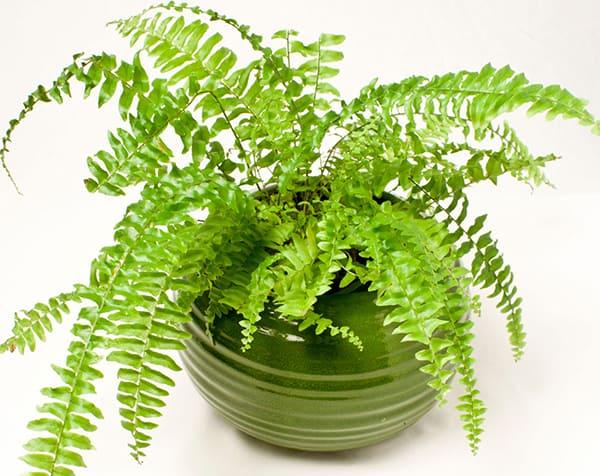 Cây dương xỉ có thể loại bỏ kim loại độc hại như thủy ngân và asen