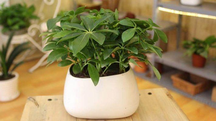 Cây ngũ gia bì cung cấp hàm lượng oxy cao gấp 3 lần các cây khác