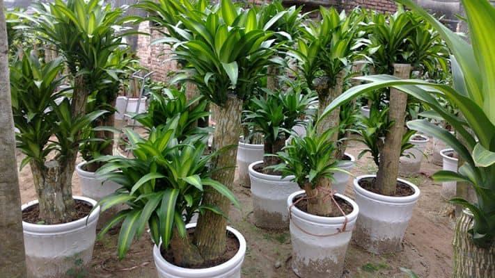 Cây thiết mộc lan nên trồng gần cơ sở sản xuất sơn, nhựa, hóa chất