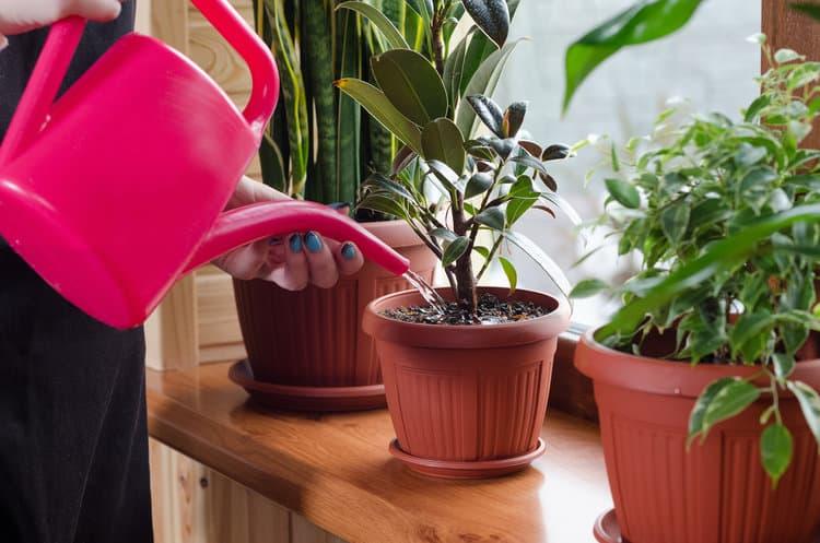 Cung cấp vừa đủ lượng nước cho cây cảnh trong nhà