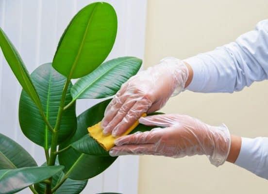 Thường xuyên cắt tỉa, vệ sinh cây cảnh trong nhà