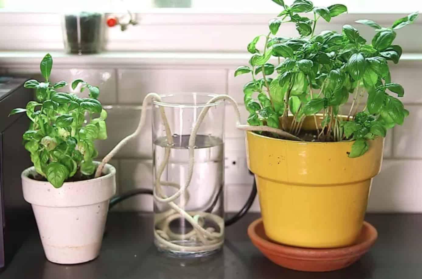 Làm hệ thống tưới nhỏ giọt từ bình nước và dây cotton