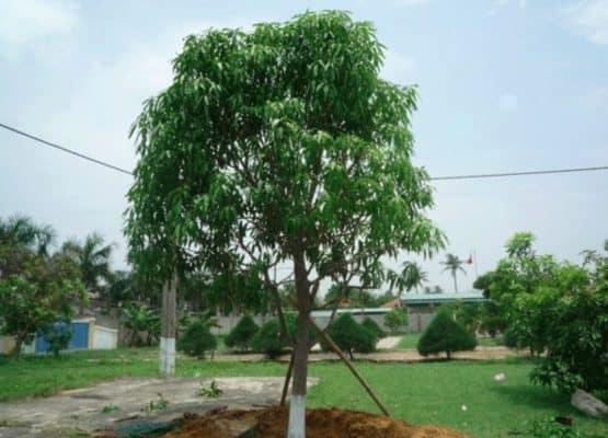 trồng cây bóng mát