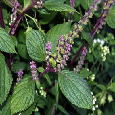 Cây hương nhu tía hương thơm dễ chịu