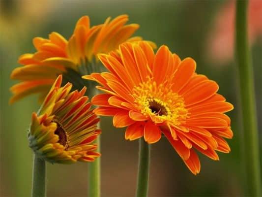 Cây hoa đồng tiền cam đảm bảo sự trong lành