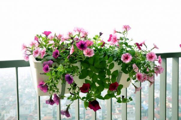 Cây hoa dạ yến thảo