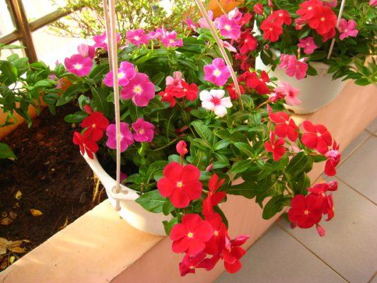 cây hoa dừa cạn trồng ban công